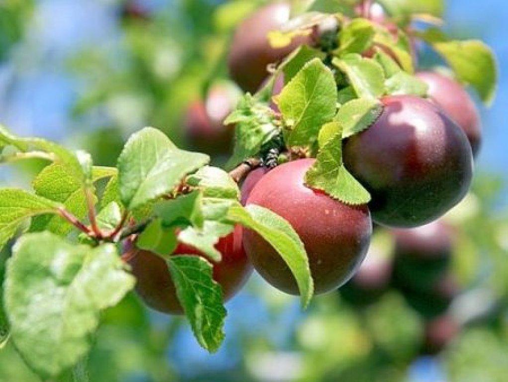 Curso de injerto de frutales en celorio for Arboles frutales para el jardin