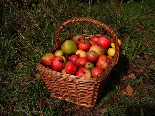 La recogida de manzana asturiana se ha iniciado ya esta temporada 2012 - Celoriu.com